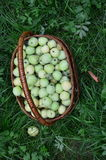 Basket of green apples on the green grass. The view from the top. The harvest of green apples collected in the basket royalty free stock images