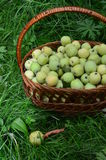 Basket of green apples. The harvest of green apples collected in the basket royalty free stock images