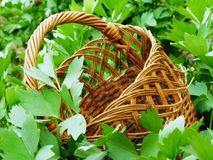 The basket on the green leaves. Basket on green leaves in spring garden Royalty Free Stock Photo