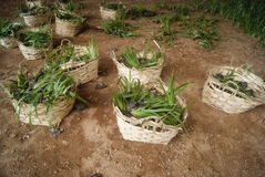 A basket of green plant to plant Stock Images