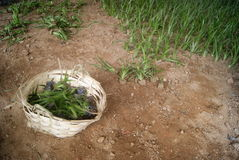 A basket of green plant to plant Royalty Free Stock Images