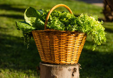 Basket of green vegetables over nature background Royalty Free Stock Photo