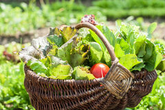 Basket with greens Royalty Free Stock Photo