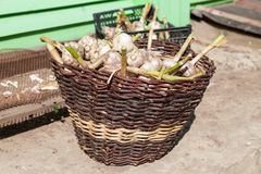 Basket for the harvest of garlic Royalty Free Stock Photos
