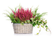 Basket with heather Royalty Free Stock Photography