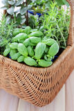 Basket of herbs Royalty Free Stock Photo