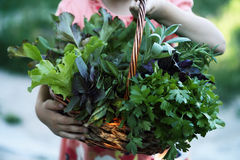 Basket with herbs. Little girl holding wicker basket with fresh herbs Royalty Free Stock Images