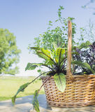 Basket with herbs on wooden table. In summer garden Stock Photo