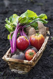 Basket of home grown vegetables. Basket of organic vegetables from the garden Royalty Free Stock Photos