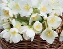 Basket with jasmine flowers Stock Photography