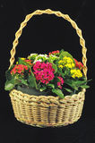 Basket of kalanchoe flowers. Wicker basket of colorful blooming kalanchoe flowers isolated on black background Stock Photo