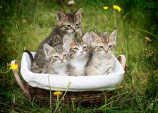 Basket of kittens Stock Photos