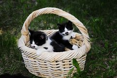 Basket of kittens. A basket of black and white kittens Stock Photo
