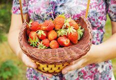 Basket with large and ripe strawberry Royalty Free Stock Photography
