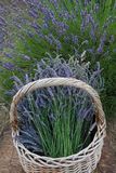 Basket of lavender. An old-fashioned basket holds freshly cut lavender with a lavender plant in the background Royalty Free Stock Photo