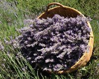 Basket of lavender. Here is a basket of fresh picked lavender, sitting in a field of french lavender stock photography