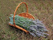 A Basket Of Lavender Stock Photo