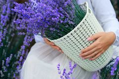 Basket with lavender flower is in woman hand stock photo