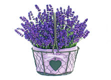 Basket of lavender flowers. A pretty basket of lavender flowers in full bloom.  White background Royalty Free Stock Images