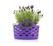 Basket with lavender flowers Stock Image