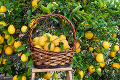 Basket of lemons freshly picked from a tree. Freshly picked lemons in a basket resting on a ladder Royalty Free Stock Photo