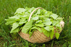 Basket with lettuce in grass Stock Photo