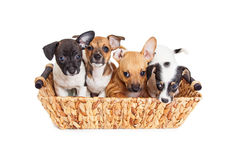 Basket of Litter of Cute Puppies Stock Photos