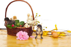 Basket with little chicks and flowers. Basket with colorful little fluffy chicks and different flowers on a wood table against white background Royalty Free Stock Photo