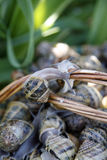Basket of live snails Royalty Free Stock Images