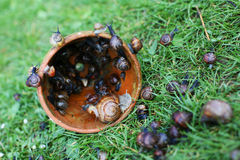 Basket of live snails Royalty Free Stock Photography