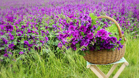 Basket with mallow in front of purple flowerfield Stock Photo