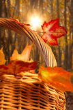 Basket of maple leaves Stock Photos
