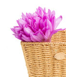 Basket with meadow saffron flowers Royalty Free Stock Photos