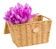 Basket with meadow saffron isolated on white Stock Image