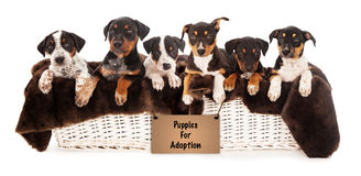 Basket of Mixed Breed Puppies Royalty Free Stock Photo