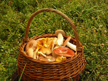 Basket with mushrooms. Full basket of different mushrooms Stock Images