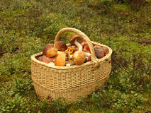 Basket with mushrooms. Full basket with edible mushrooms Royalty Free Stock Photo