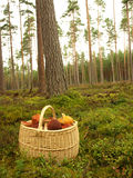 Basket with mushrooms. Full basket with mushrooms in the forest Stock Images