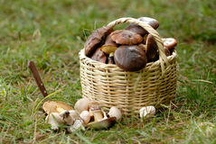 Basket with a mushrooms. The basket with a mushrooms stock images