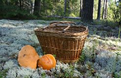 Basket with mushrooms. In autumn pine forest with two big orange-cap boletus near stock photography