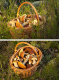Basket with mushrooms. In a grass two foreshortenings Royalty Free Stock Photos