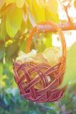 Basket with mushrooms. Basket with mushrooms on a tree. Basket with mushrooms on a tree Stock Photos