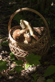 Basket with mushrooms. Boletus in the forest Stock Images