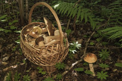 Basket with mushrooms. Boletus in the forest Stock Photo