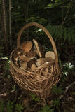 Basket with mushrooms. Boletus in the forest Royalty Free Stock Photography