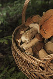Basket with mushrooms. Boletus in the forest. Basket with mushrooms. Group of boletus in the forest. Good harvest of eatable fungus Royalty Free Stock Image