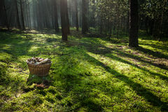 Basket with mushrooms in the forest royalty free stock photo