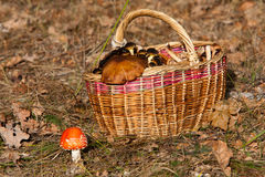 Basket of mushrooms in forest Royalty Free Stock Photo