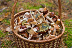 Basket with mushrooms in the forest Stock Photo