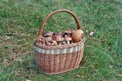Basket of mushrooms Royalty Free Stock Images